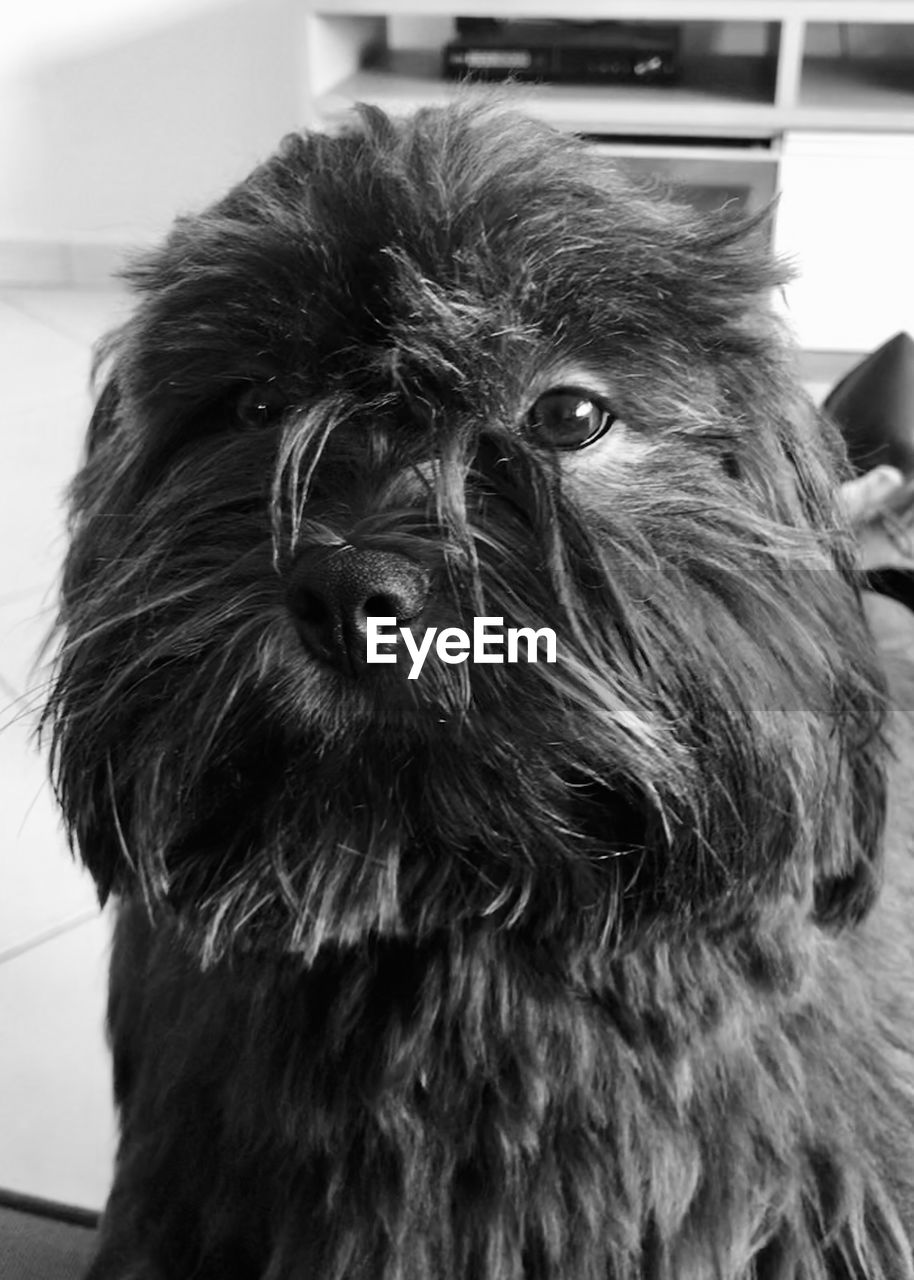 one animal, mammal, animal, animal themes, pets, dog, domestic, domestic animals, canine, close-up, vertebrate, animal hair, portrait, indoors, focus on foreground, hair, animal head, animal body part, no people, lap dog, small, snout
