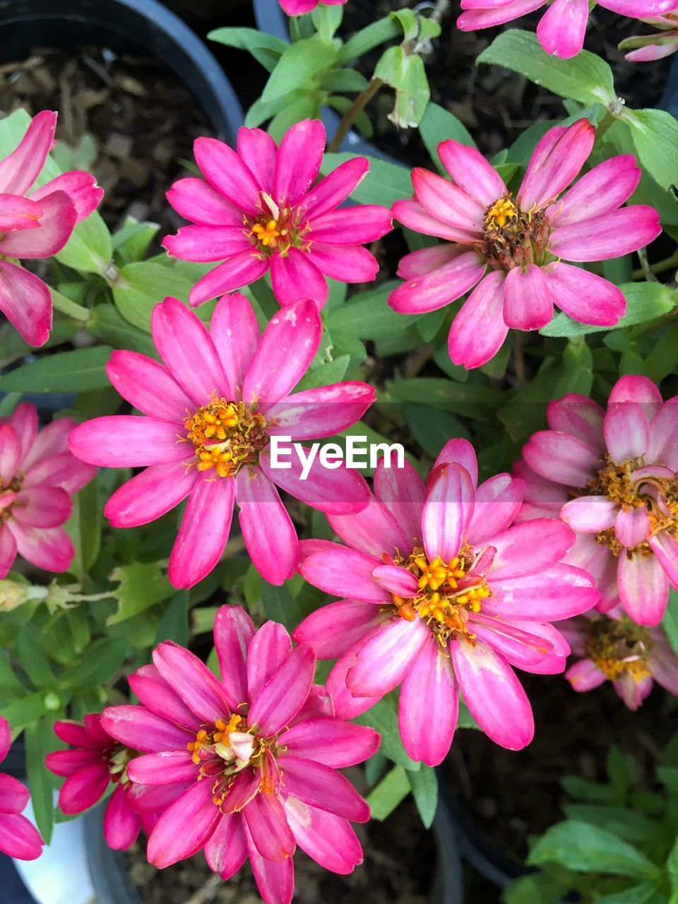 flower, petal, beauty in nature, growth, flower head, fragility, freshness, nature, blooming, pink color, plant, no people, outdoors, day, osteospermum, close-up, zinnia