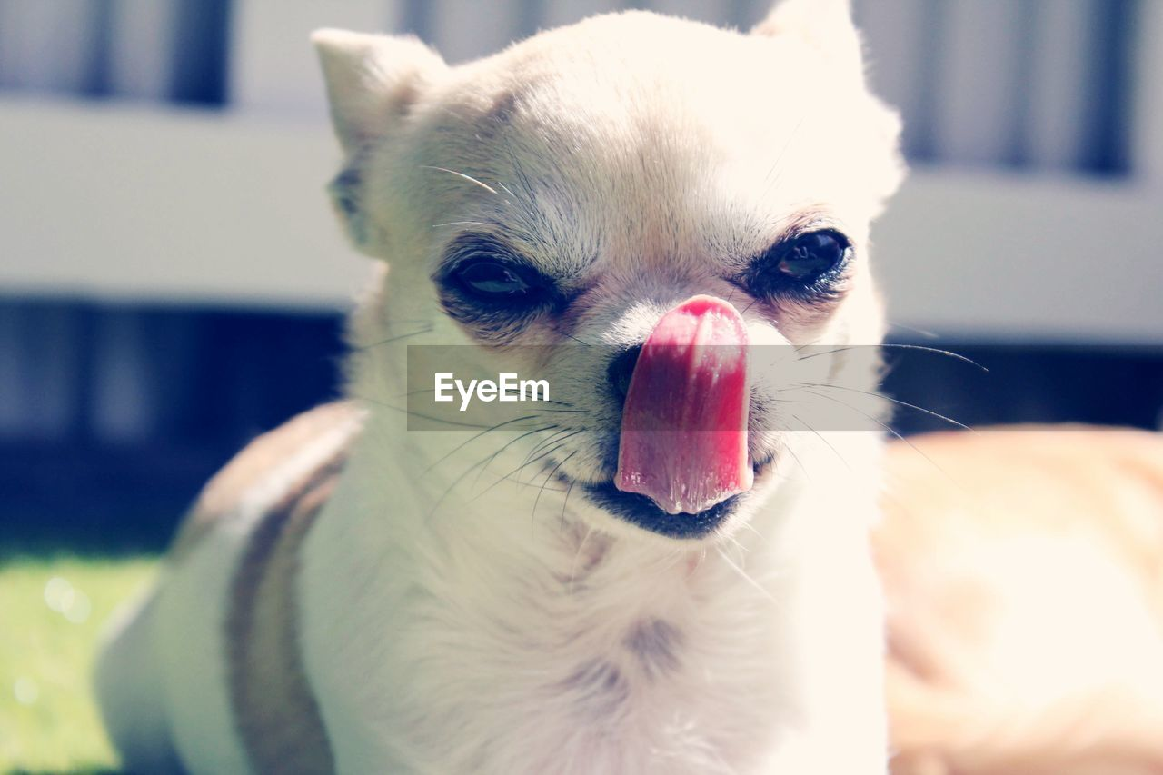 pets, domestic animals, animal themes, domestic, one animal, animal, mammal, vertebrate, facial expression, canine, close-up, dog, sticking out tongue, animal body part, focus on foreground, no people, indoors, portrait, home interior, animal tongue, animal head, small, mouth open, whisker, chihuahua - dog, animal mouth