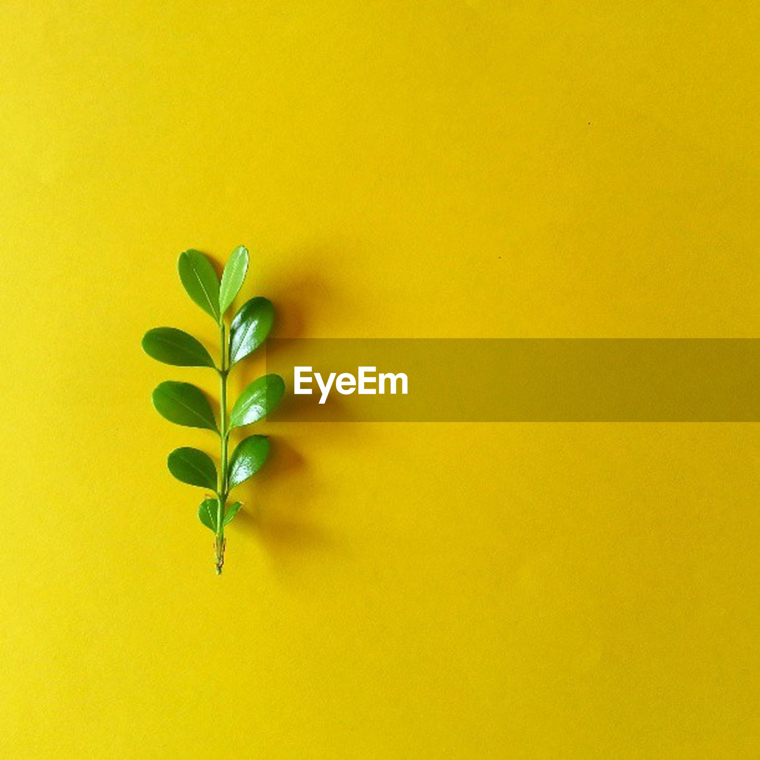 leaf, yellow, green color, close-up, growth, copy space, studio shot, nature, leaf vein, plant, white background, green, stem, no people, beauty in nature, backgrounds, leaves, full frame, wall - building feature, outdoors