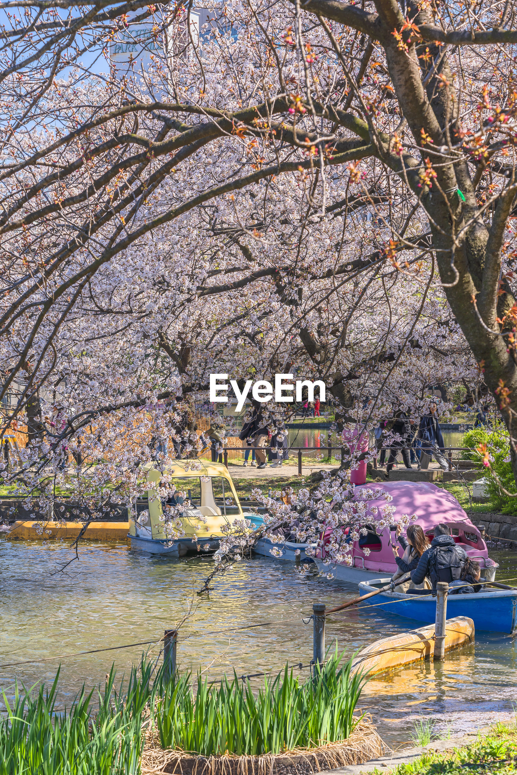 VIEW OF CHERRY BLOSSOM AT PARK