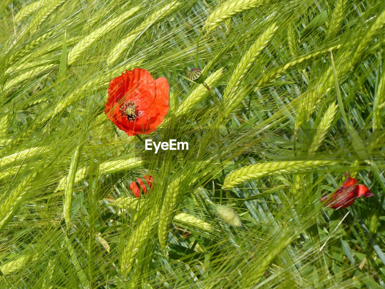 Close-Up Of Poppy Blooming On Field
