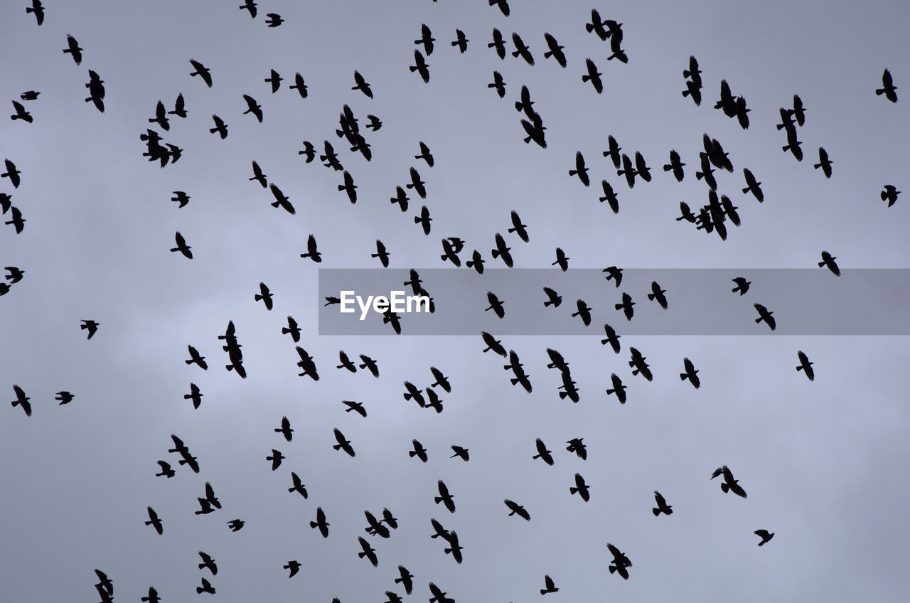 group of animals, animal wildlife, large group of animals, animals in the wild, animal themes, animal, flying, low angle view, bird, vertebrate, flock of birds, sky, mid-air, no people, silhouette, nature, day, beauty in nature, motion, animal migration