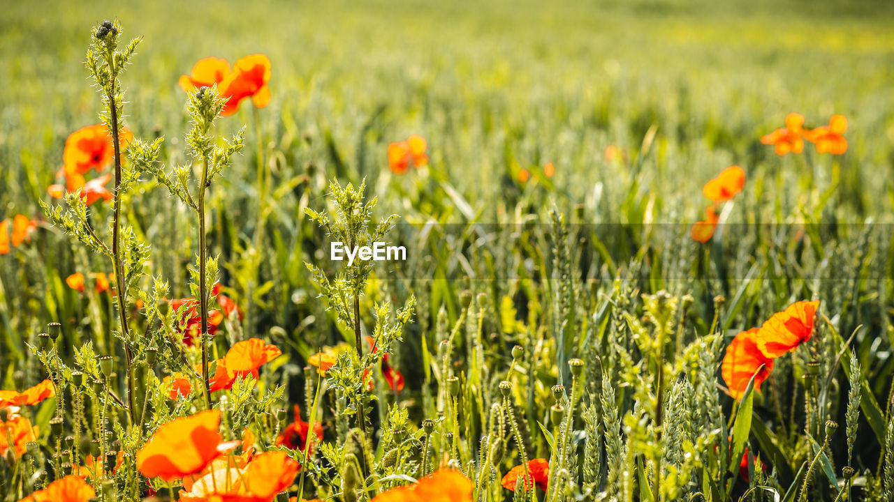 flower, flowering plant, plant, growth, beauty in nature, fragility, freshness, vulnerability, field, land, petal, close-up, nature, flower head, orange color, no people, inflorescence, green color, selective focus, poppy, outdoors, flowerbed