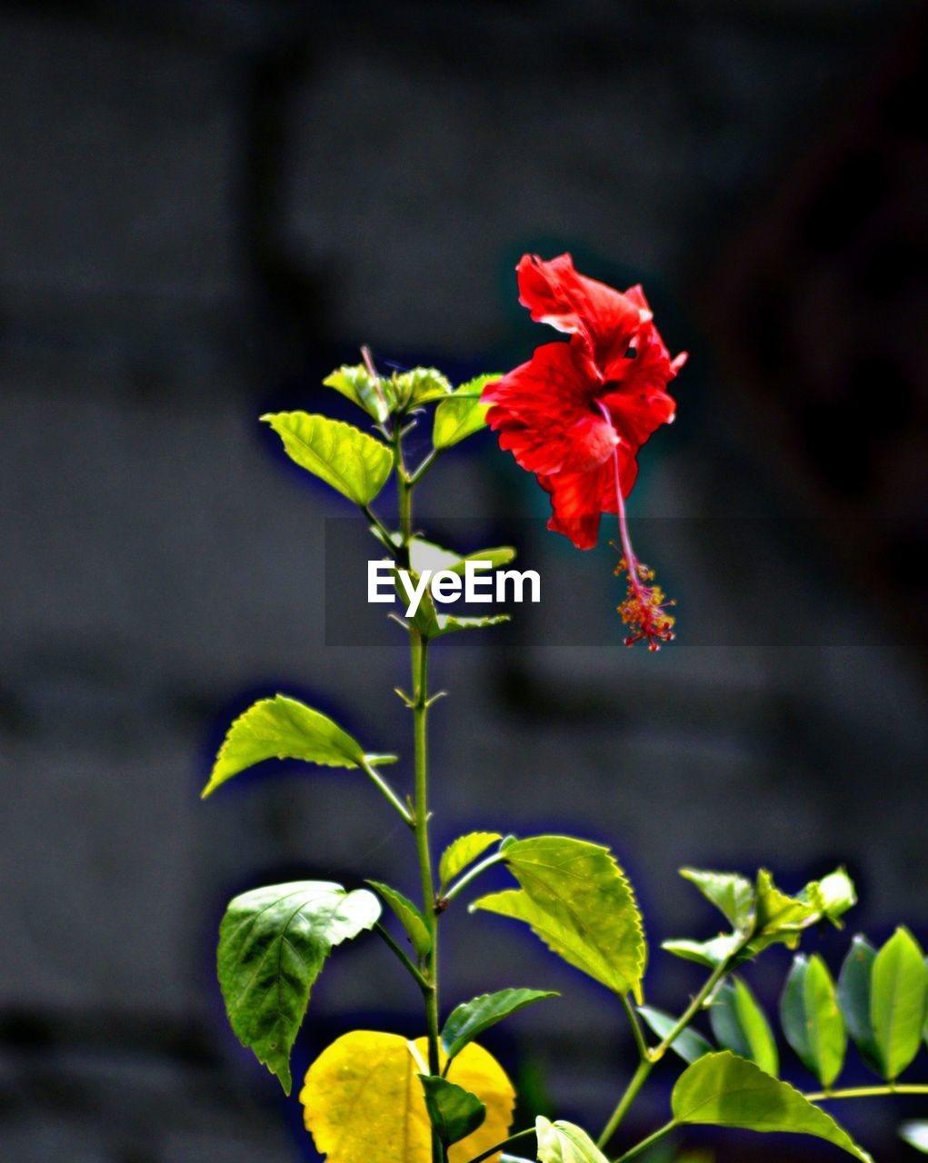 flowering plant, flower, growth, plant, beauty in nature, red, vulnerability, freshness, close-up, fragility, petal, flower head, nature, inflorescence, focus on foreground, day, no people, leaf, plant part, outdoors