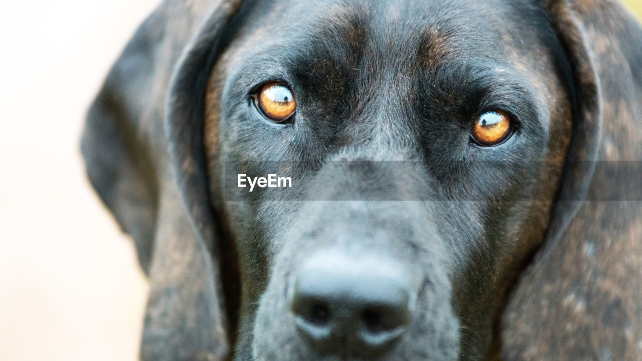 dog, pets, domestic animals, one animal, animal themes, mammal, portrait, animal head, close-up, looking at camera, labrador retriever, black color, no people, outdoors, day, retriever