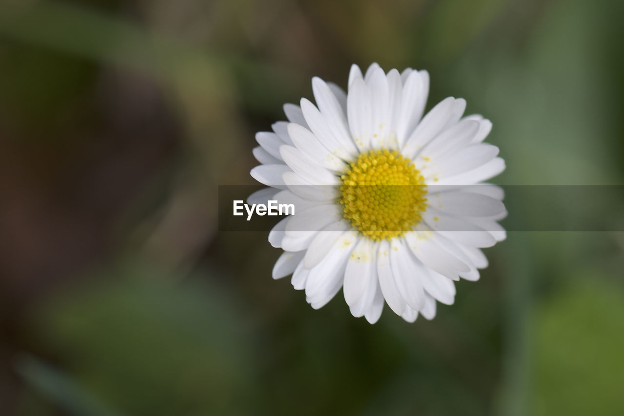 flower, flowering plant, fragility, freshness, plant, beauty in nature, vulnerability, growth, petal, flower head, inflorescence, close-up, pollen, white color, daisy, focus on foreground, day, nature, selective focus, no people, outdoors