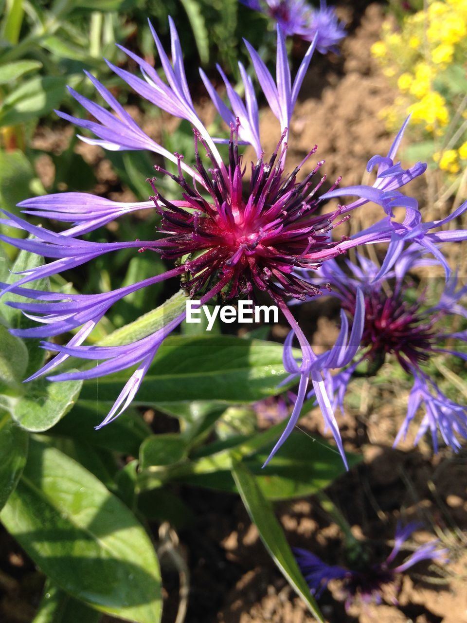 flower, purple, growth, fragility, nature, beauty in nature, plant, day, freshness, outdoors, no people, petal, blooming, flower head, close-up