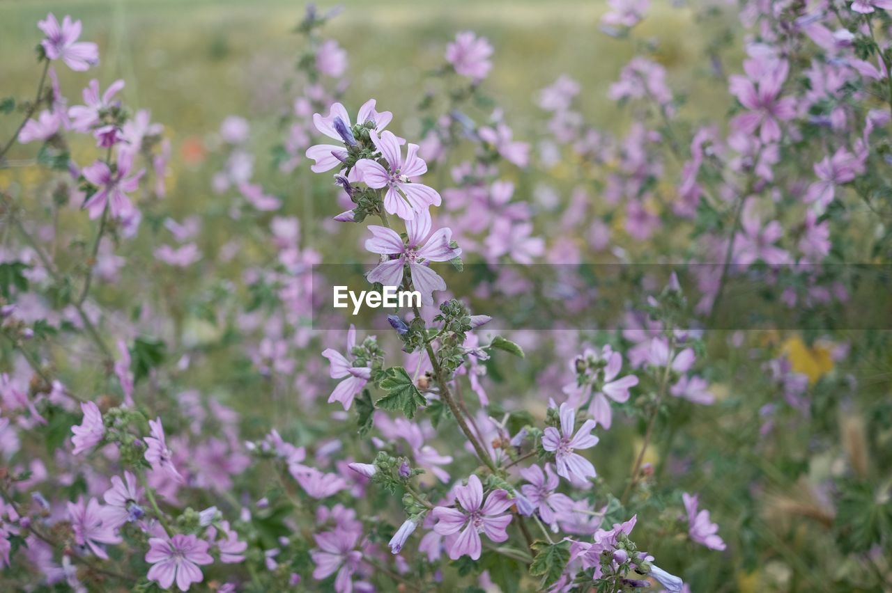 flowering plant, flower, fragility, vulnerability, freshness, plant, beauty in nature, growth, petal, close-up, nature, flower head, inflorescence, no people, day, pink color, land, focus on foreground, selective focus, outdoors, purple