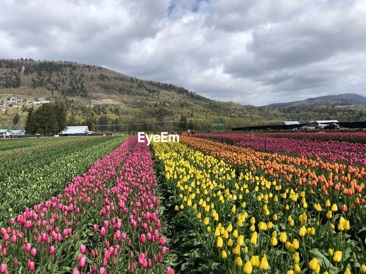 Colorful Tulips In Field Against Cloudy Sky