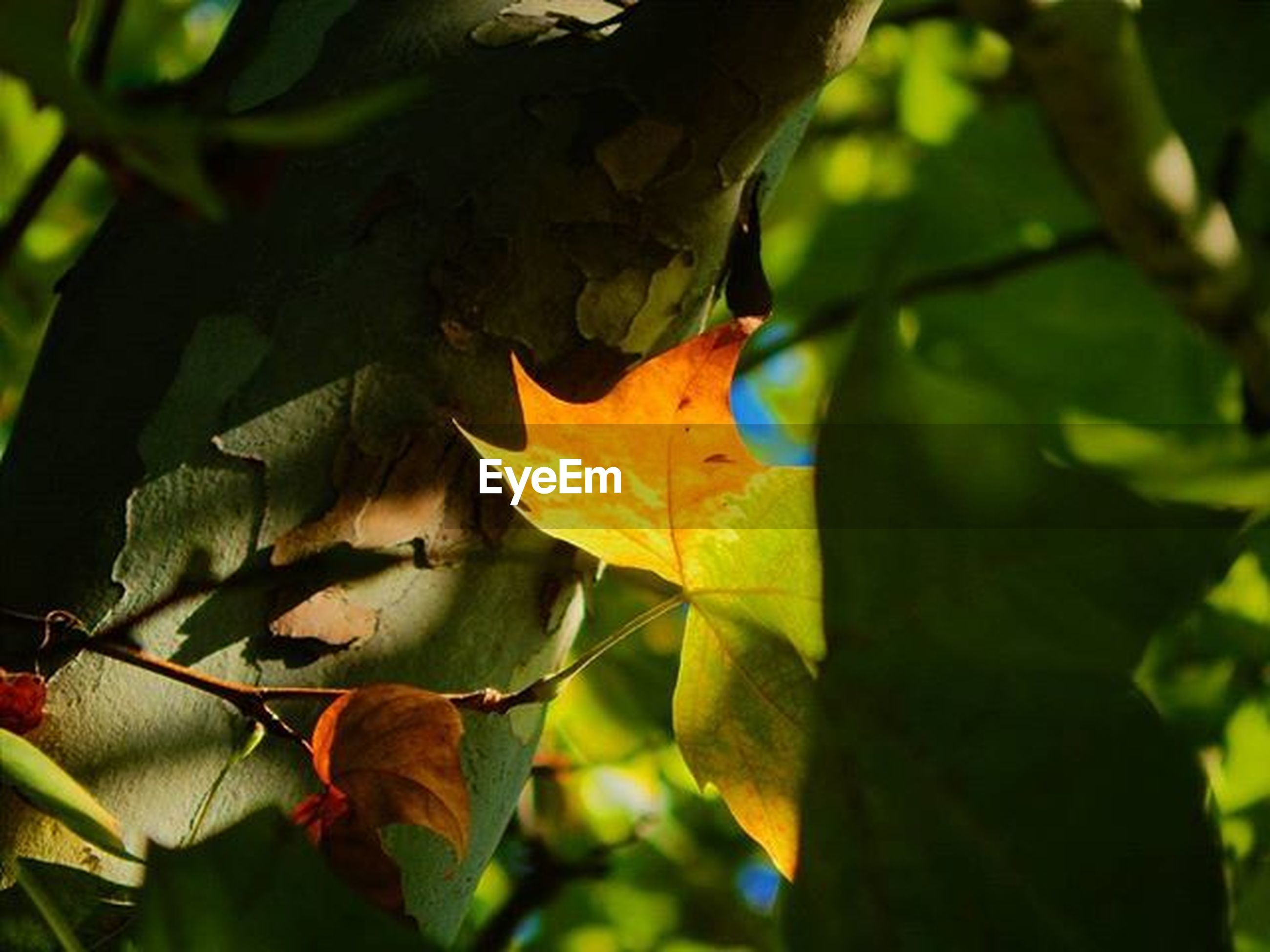 leaf, autumn, change, leaf vein, leaves, close-up, season, branch, nature, maple leaf, natural pattern, tree, growth, focus on foreground, low angle view, green color, beauty in nature, outdoors, day, orange color