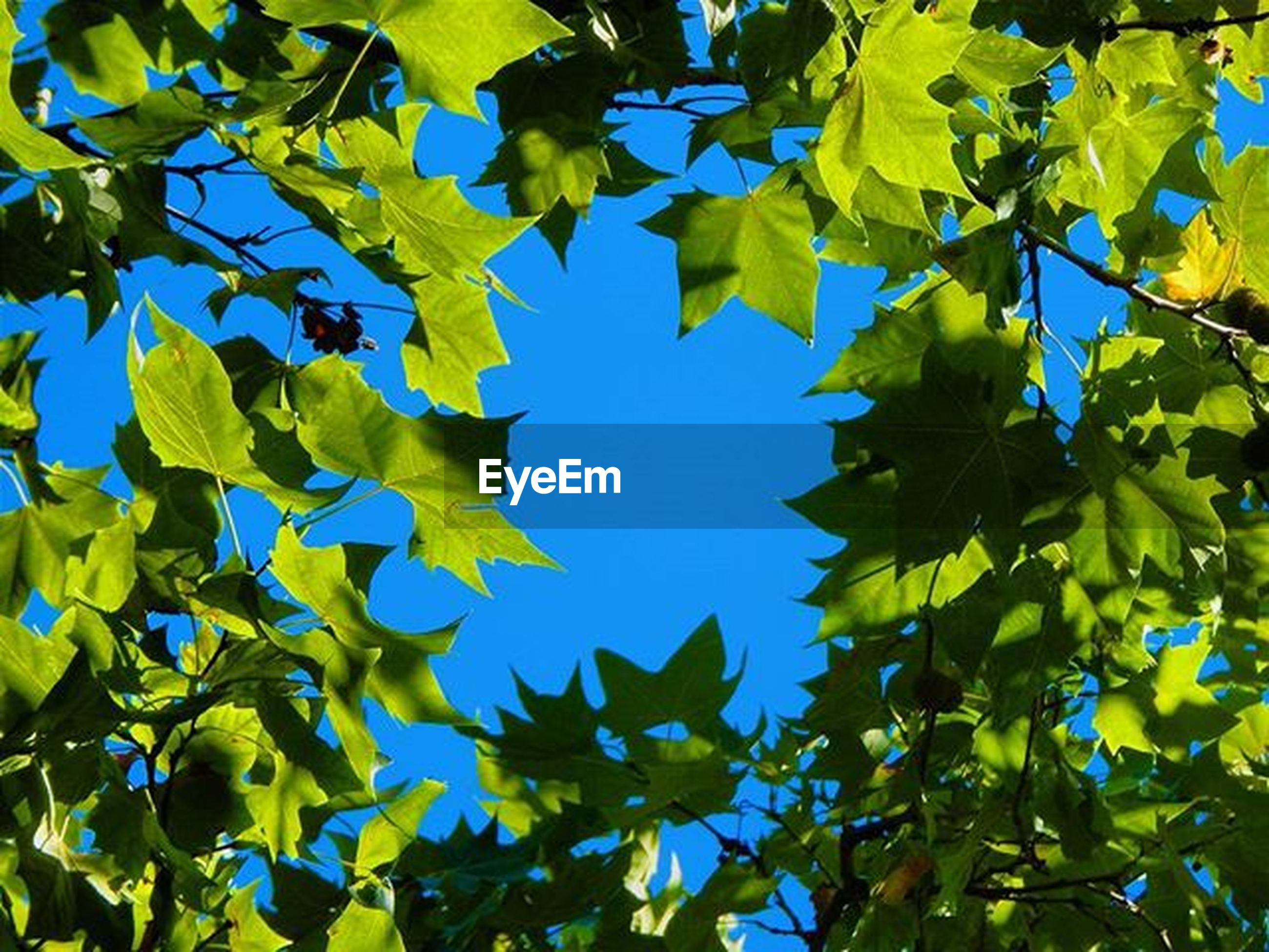 leaf, low angle view, growth, tree, blue, branch, green color, clear sky, nature, autumn, beauty in nature, leaves, yellow, sunlight, day, change, tranquility, outdoors, close-up, season