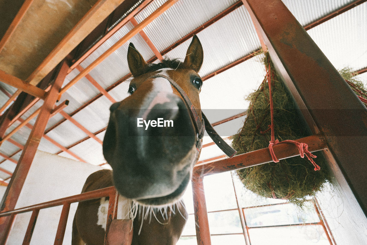 animal, mammal, animal themes, one animal, domestic animals, domestic, animal wildlife, pets, vertebrate, indoors, livestock, low angle view, horse, animal body part, no people, working animal, day, animal head, donkey, standing, herbivorous, stable, ceiling