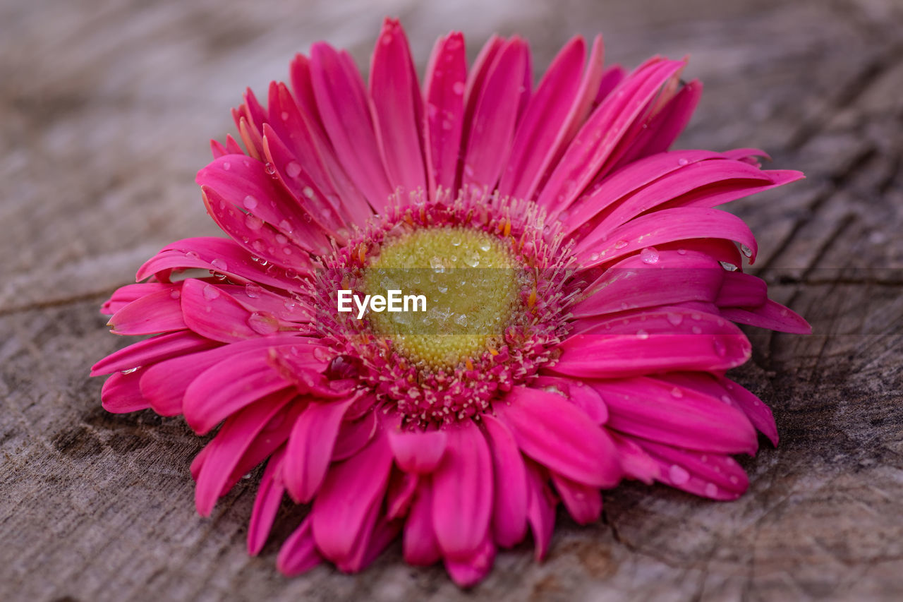 Close-Up Of Pink Daisy Flower On Wood