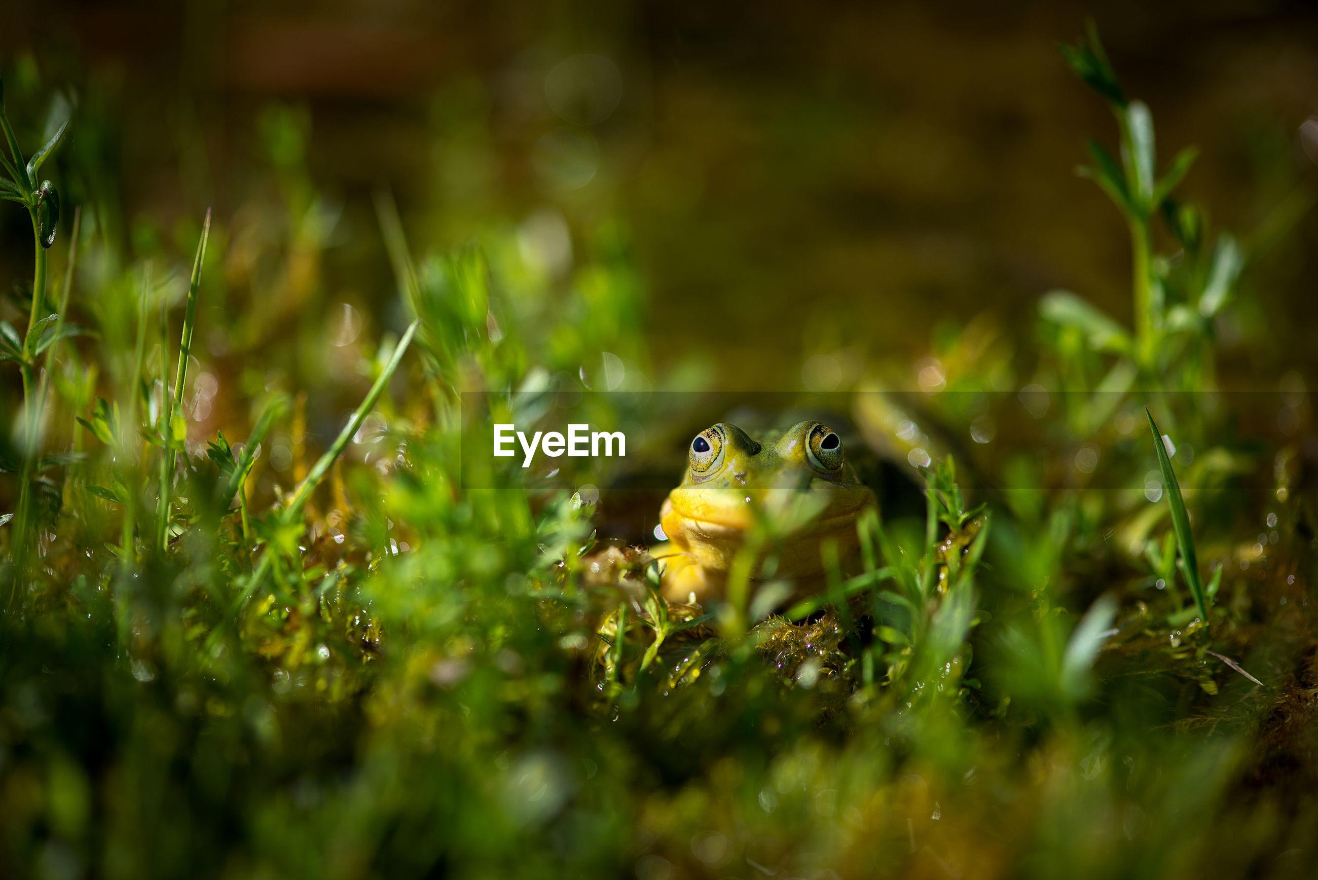 Close up of green frog, beautiful nature of latvia