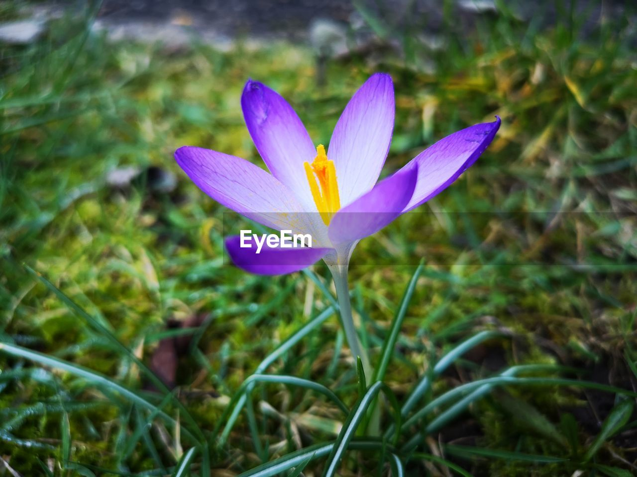 flowering plant, flower, plant, vulnerability, fragility, petal, beauty in nature, freshness, growth, inflorescence, flower head, close-up, iris, crocus, land, purple, nature, field, focus on foreground, no people, pollen