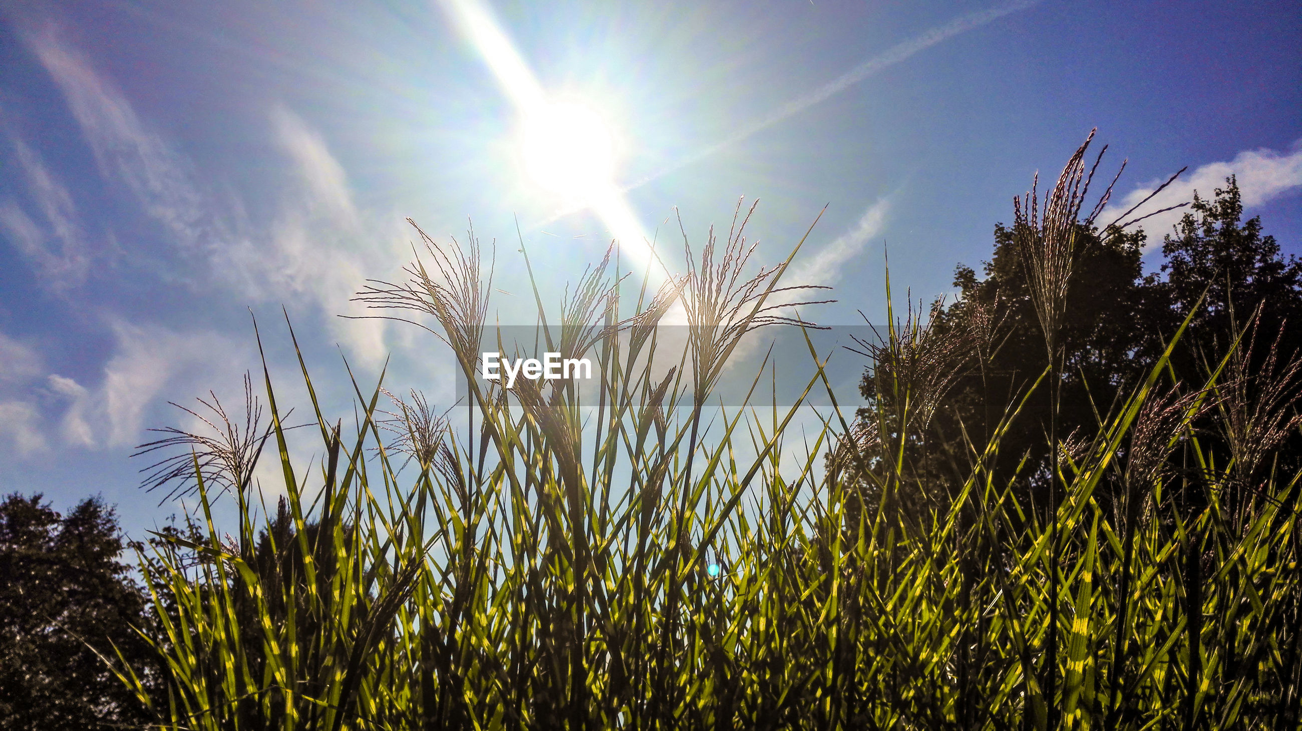 LOW ANGLE VIEW OF PLANTS GROWING ON FIELD AGAINST BRIGHT SKY