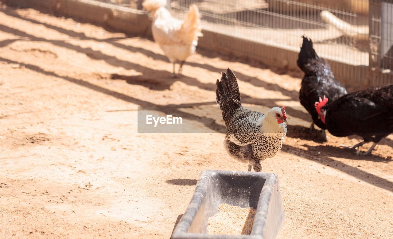 Hens At Farm