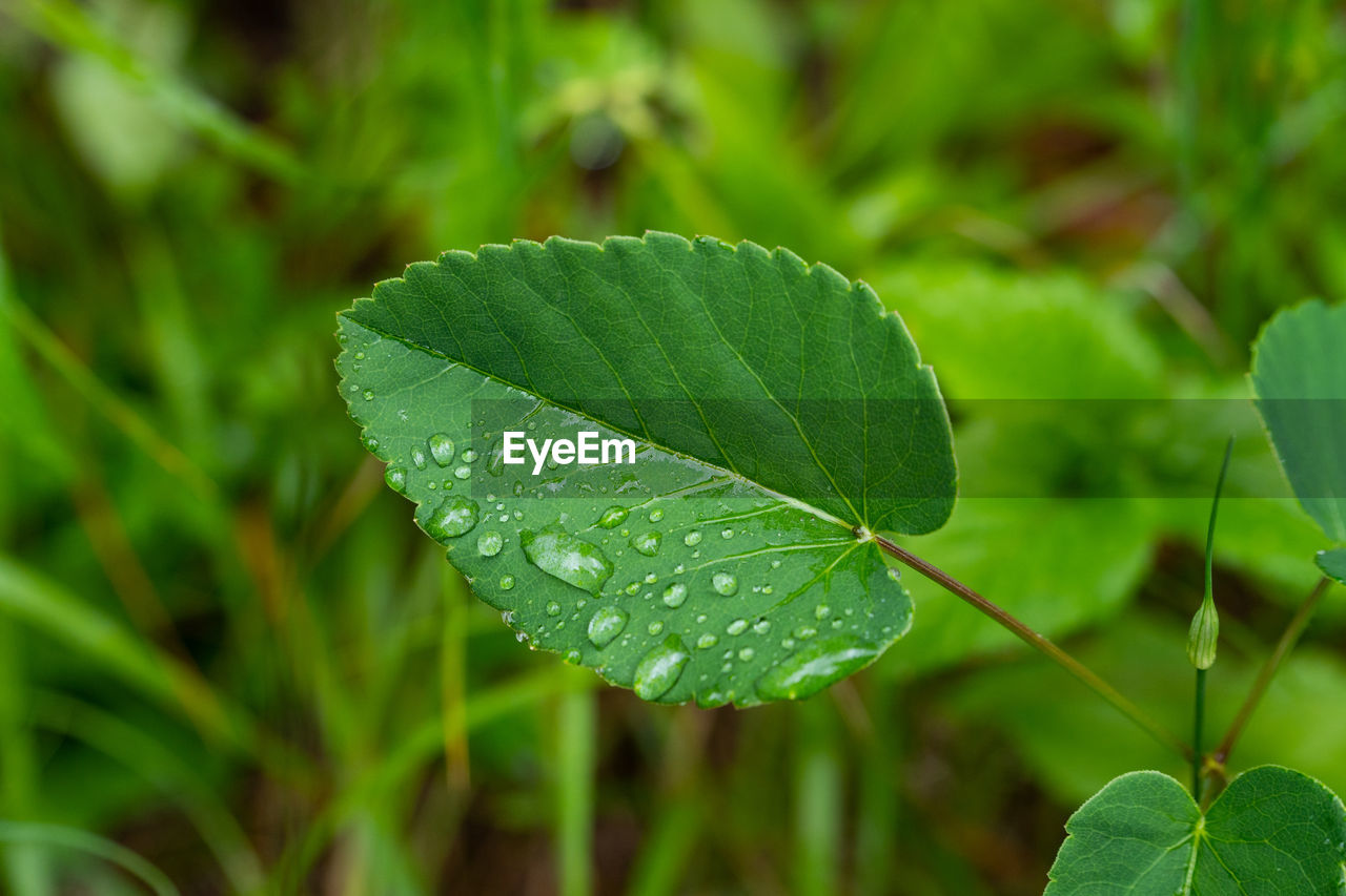 leaf, plant part, plant, growth, green color, close-up, nature, beauty in nature, focus on foreground, drop, water, wet, no people, day, freshness, leaves, outdoors, vulnerability, fragility, rain, dew, clover, rainy season, raindrop, purity