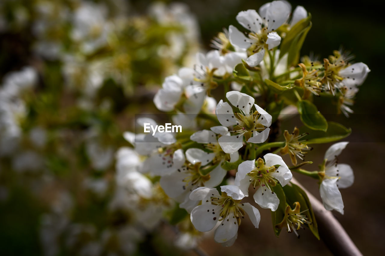 flowering plant, flower, freshness, beauty in nature, plant, fragility, vulnerability, growth, petal, white color, flower head, close-up, inflorescence, nature, day, no people, selective focus, pollen, focus on foreground, botany, springtime, outdoors, cherry blossom