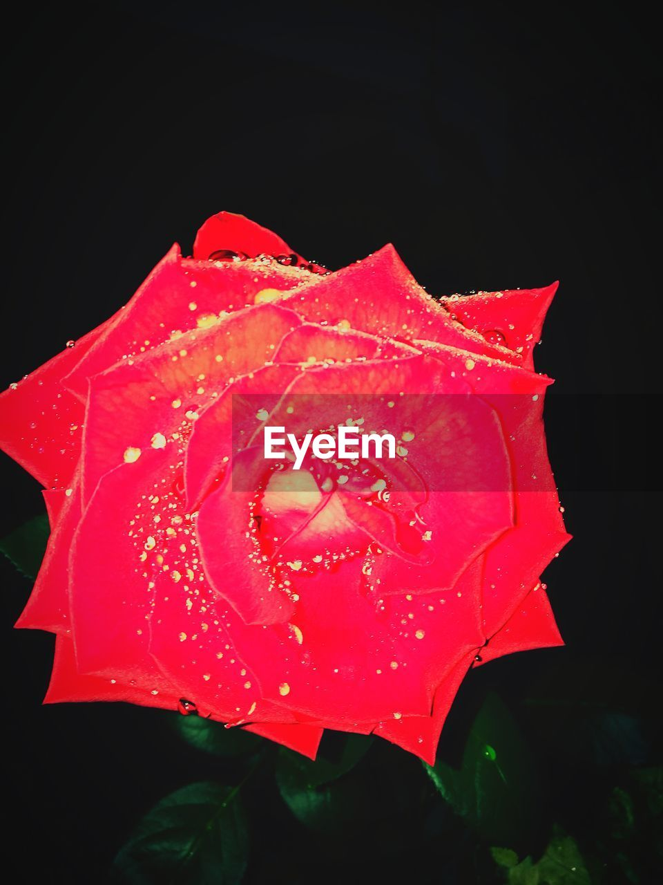 flower, petal, drop, fragility, beauty in nature, nature, flower head, freshness, red, growth, wet, rose - flower, close-up, leaf, water, plant, no people, black background, outdoors, blooming, day