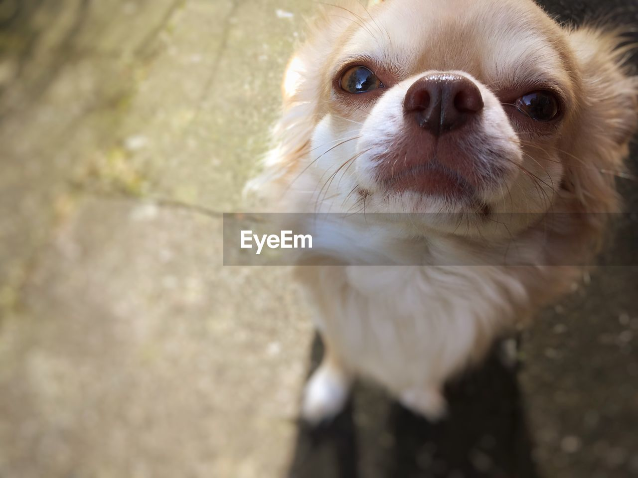 one animal, mammal, animal themes, domestic, pets, canine, domestic animals, animal, dog, vertebrate, high angle view, day, no people, portrait, animal body part, close-up, looking at camera, outdoors, looking, animal head, small, chihuahua - dog, whisker
