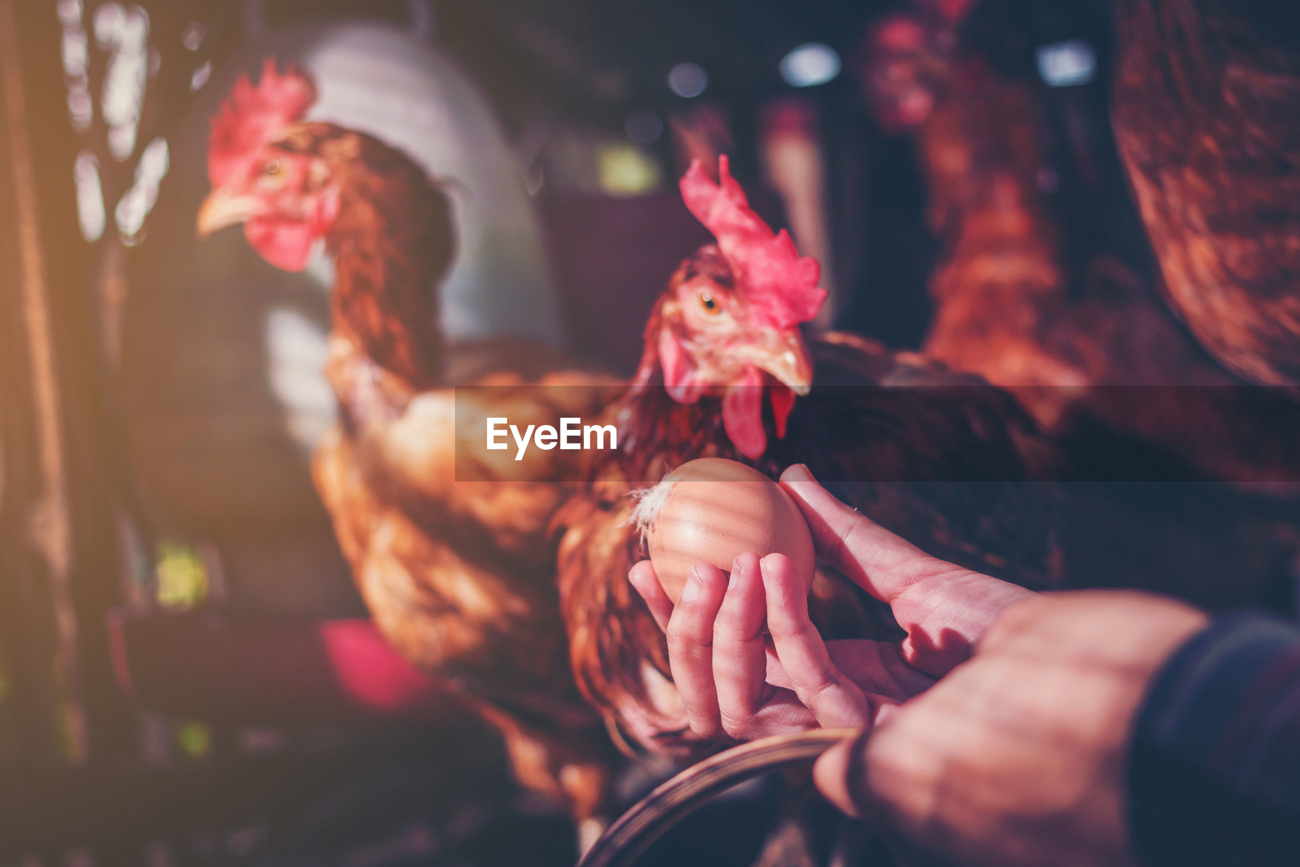 Cropped hand of person holding egg by hen at farm