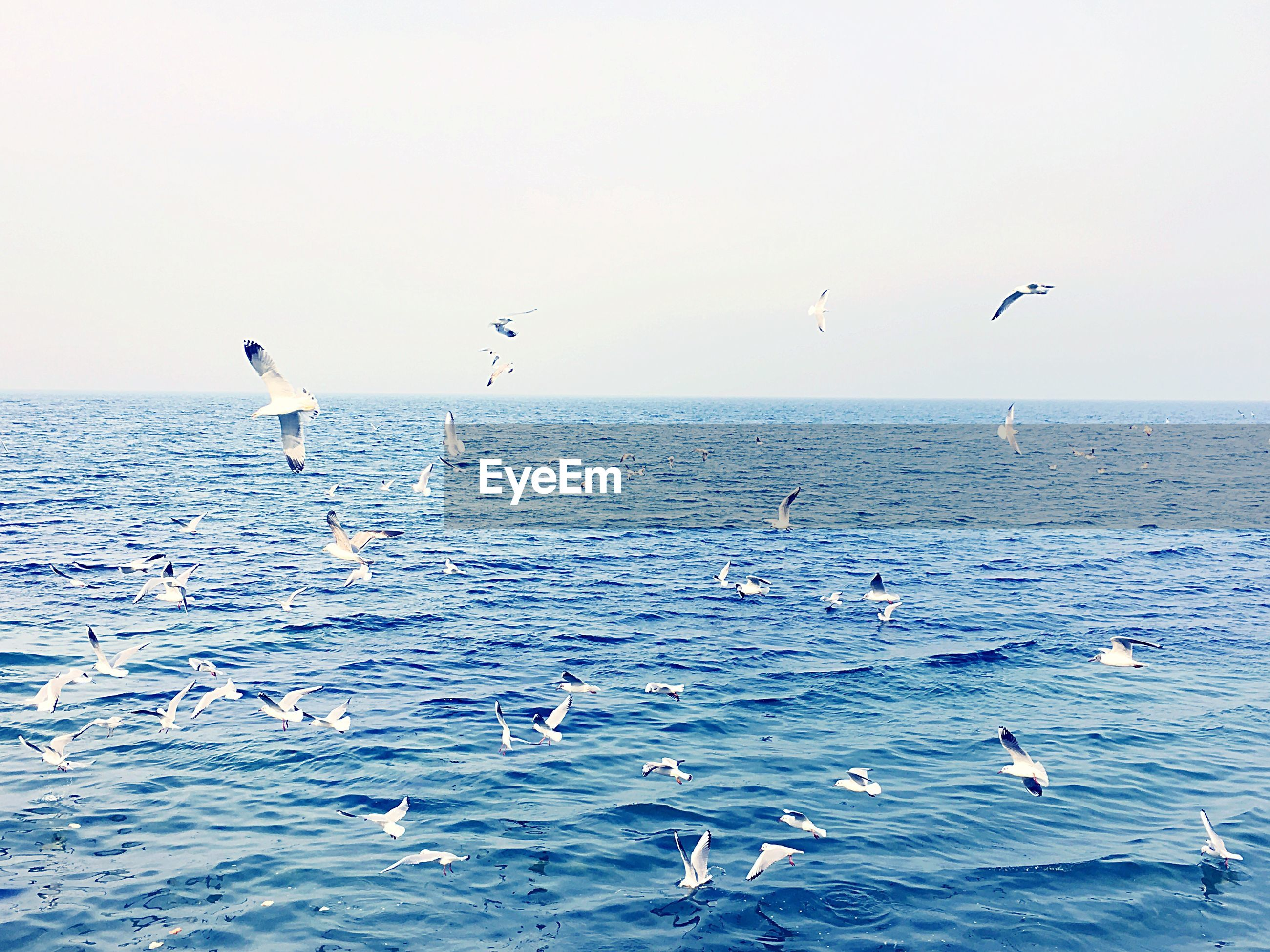 bird, flying, animal themes, animals in the wild, wildlife, sea, water, horizon over water, spread wings, seagull, mid-air, waterfront, beauty in nature, scenics, clear sky, flock of birds, nature, tranquil scene, tranquility