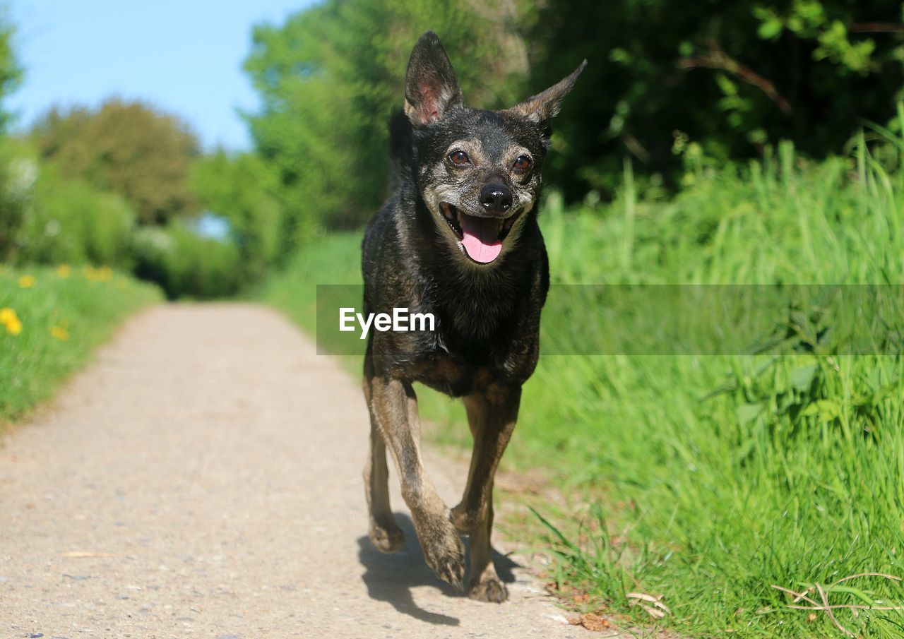 one animal, animal themes, dog, canine, animal, mammal, pets, domestic, domestic animals, vertebrate, plant, black color, nature, day, running, grass, sunlight, no people, green color, portrait, outdoors, mouth open