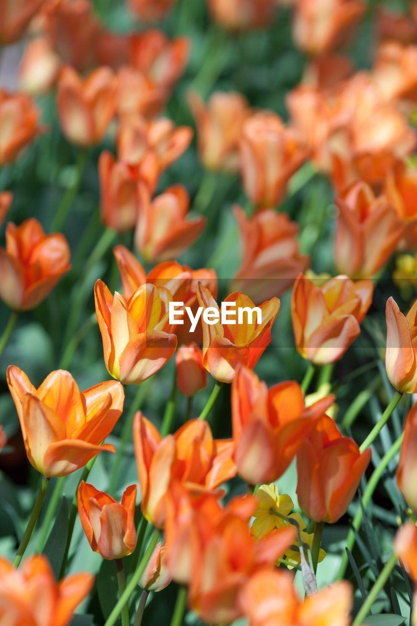 Orange Tulip On Field