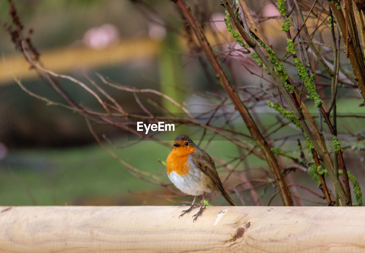 bird, perching, animal themes, one animal, animal, animal wildlife, animals in the wild, vertebrate, focus on foreground, wood - material, robin, day, no people, songbird, outdoors, orange color, nature, close-up, plant, beauty in nature