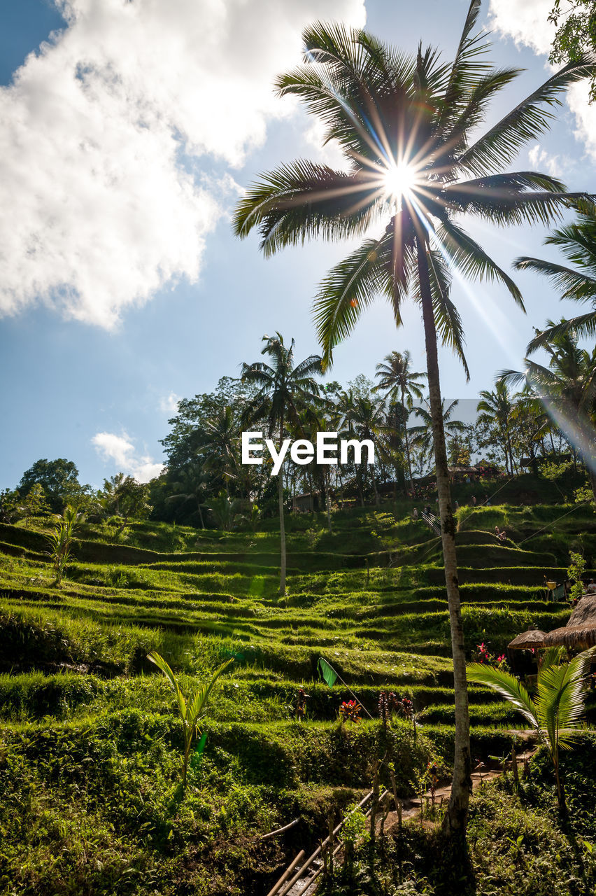 plant, sky, tree, growth, beauty in nature, tranquility, land, palm tree, cloud - sky, scenics - nature, green color, tropical climate, tranquil scene, landscape, nature, environment, no people, field, sunlight, day, outdoors, lens flare, coconut palm tree