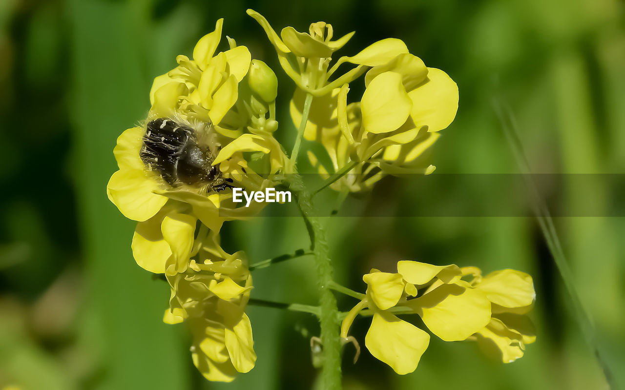 flower, yellow, insect, nature, beauty in nature, petal, growth, fragility, one animal, plant, animal themes, animals in the wild, bee, freshness, animal wildlife, outdoors, day, no people, flower head, pollination, close-up, oilseed rape, blooming, bumblebee, buzzing