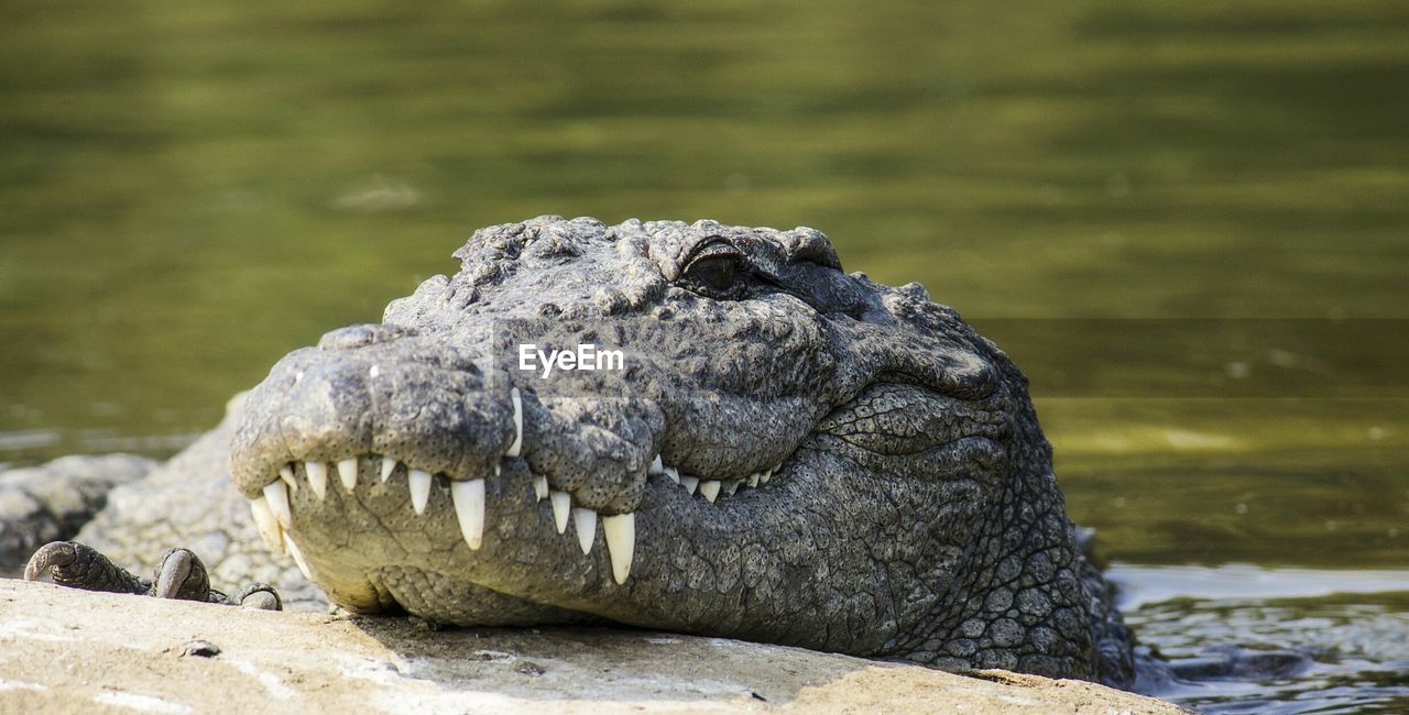 Close-Up Of Marsh Crocodile In Lake
