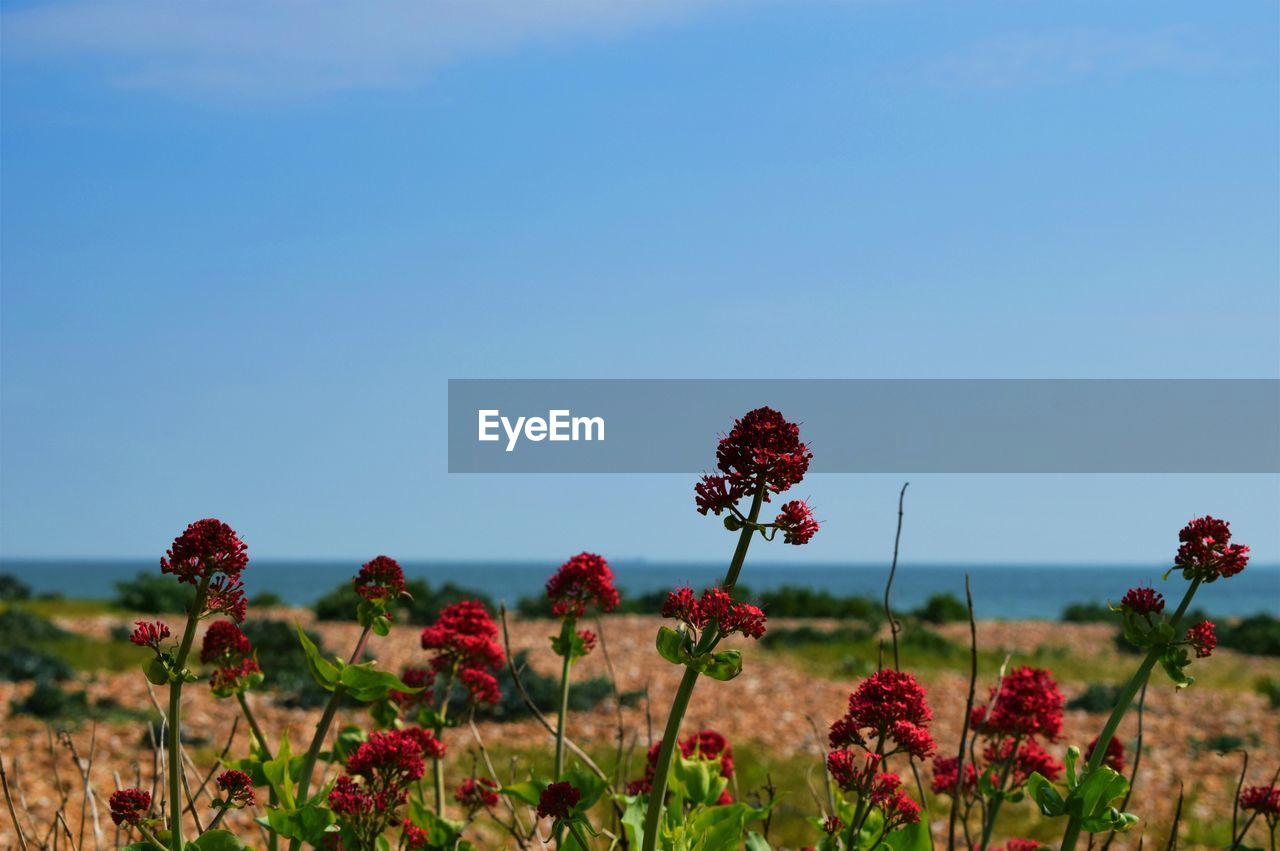 flower, growth, nature, plant, red, beauty in nature, fragility, no people, freshness, blooming, field, flower head, petal, outdoors, day, tranquility, clear sky, close-up, zinnia, sky