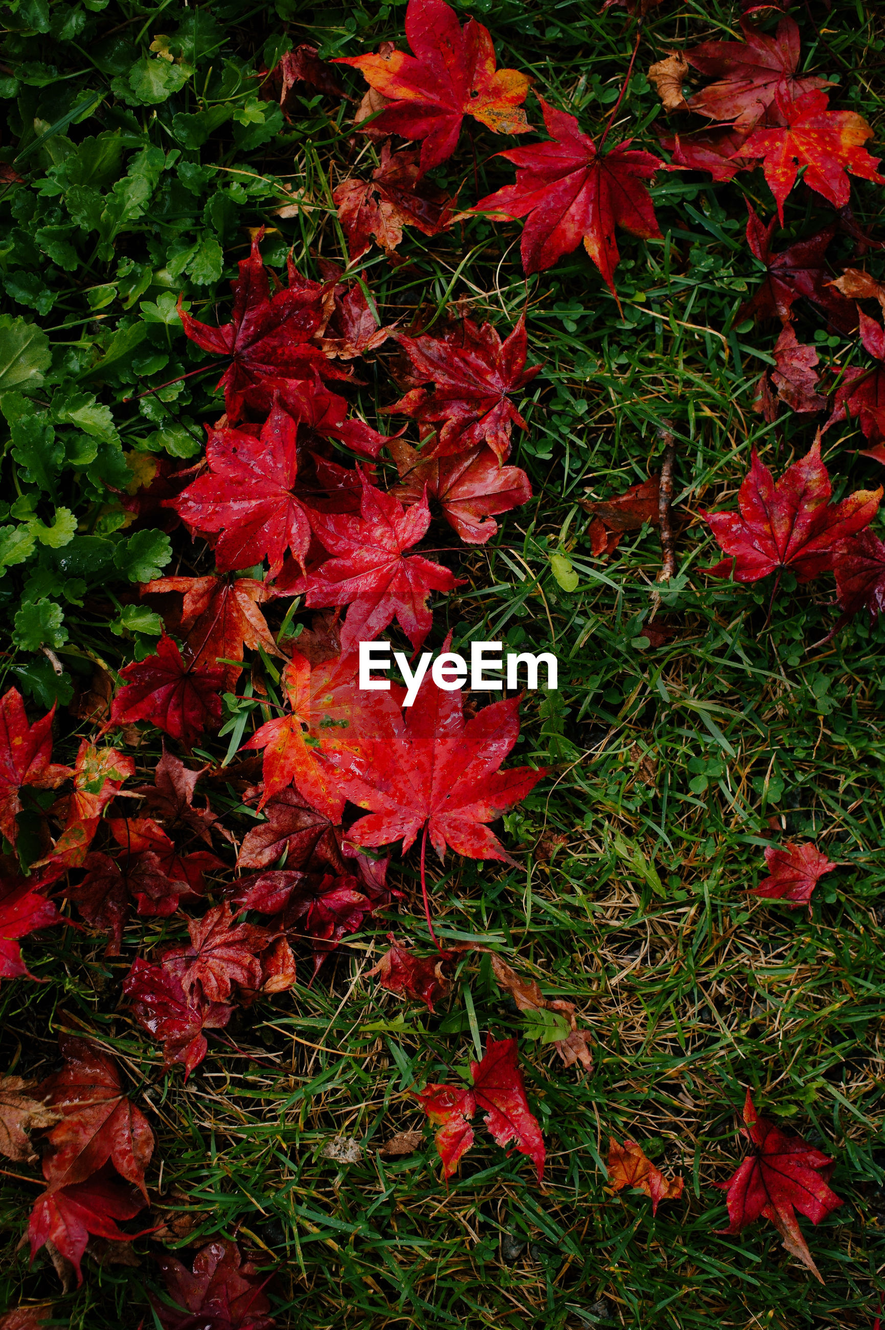 CLOSE-UP OF RED MAPLE LEAF ON AUTUMN