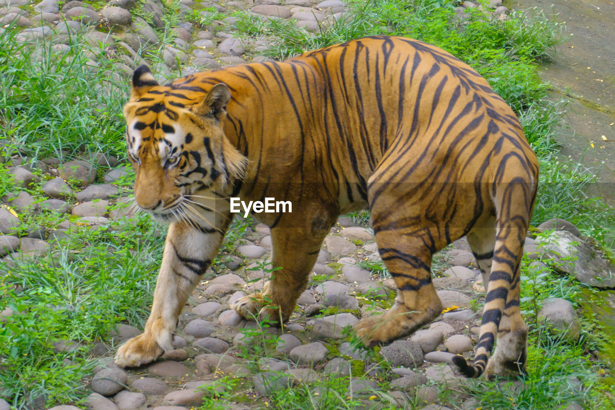 VIEW OF TIGER