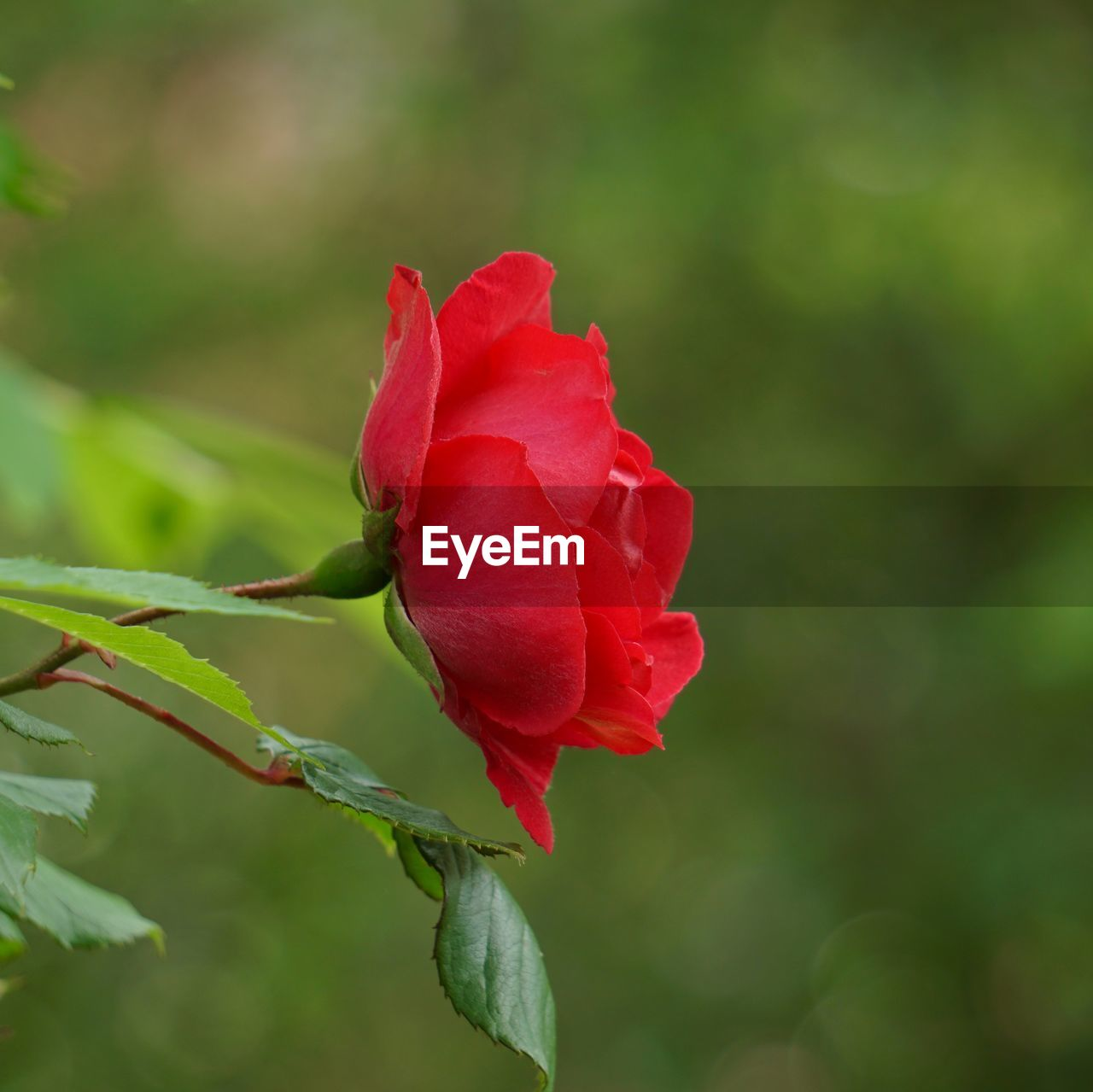 flowering plant, flower, beauty in nature, petal, plant, vulnerability, rose, fragility, rose - flower, freshness, inflorescence, flower head, close-up, growth, nature, red, focus on foreground, no people, outdoors, sepal