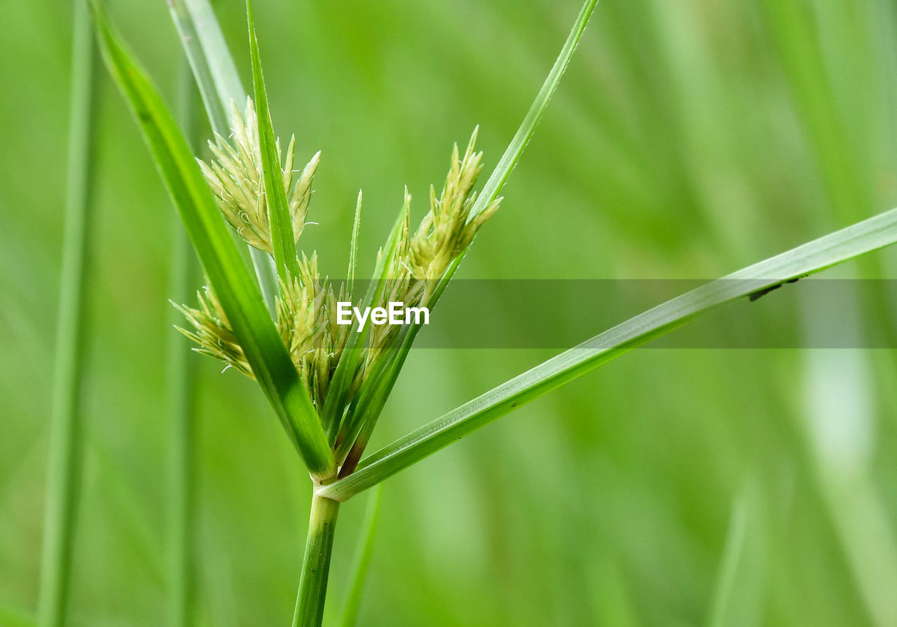 plant, green color, growth, close-up, focus on foreground, crop, nature, beauty in nature, agriculture, cereal plant, day, grass, no people, plant stem, blade of grass, wheat, outdoors, selective focus, field, animals in the wild, stalk