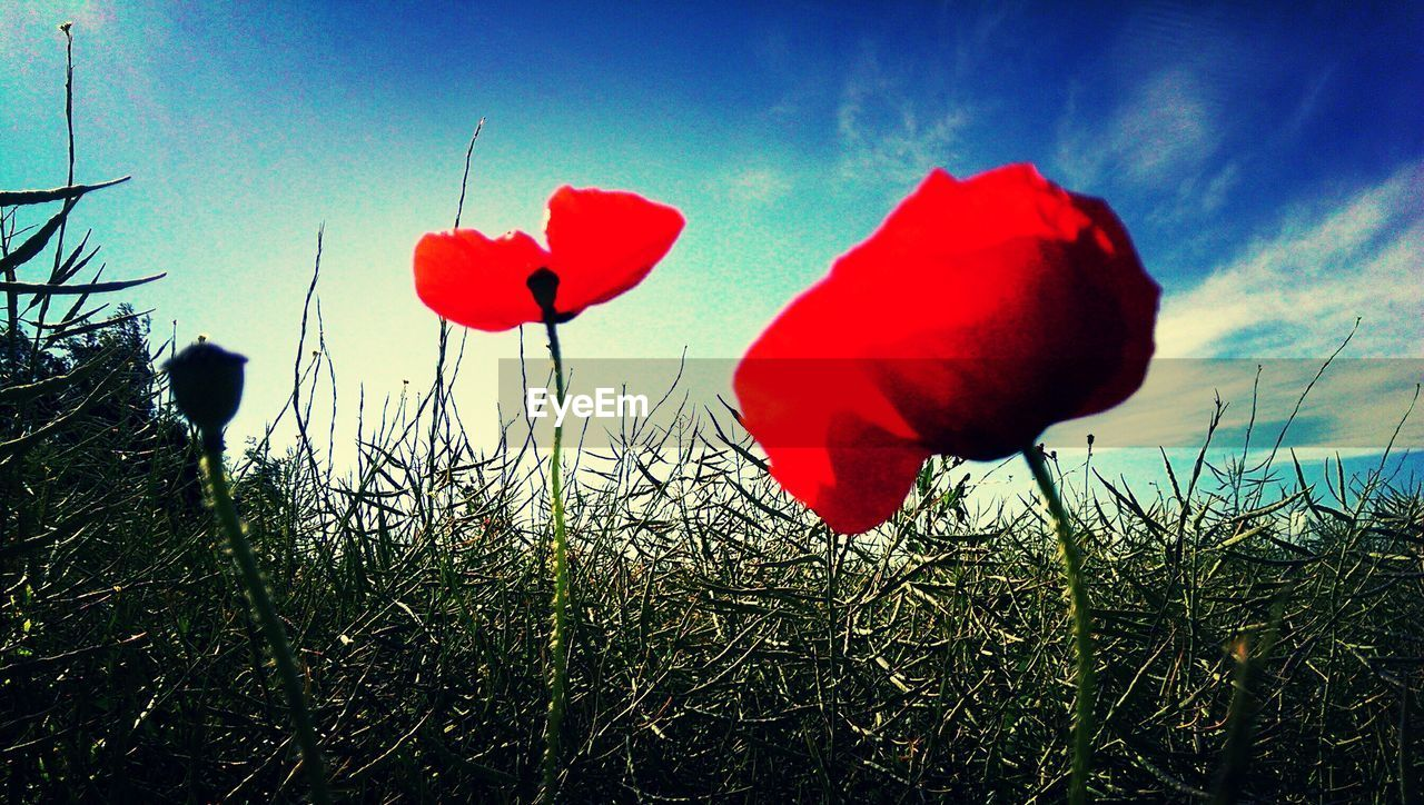 red, flower, beauty in nature, nature, no people, poppy, plant, growth, sky, day, field, petal, outdoors, fragility, grass, flower head, freshness, blooming, close-up