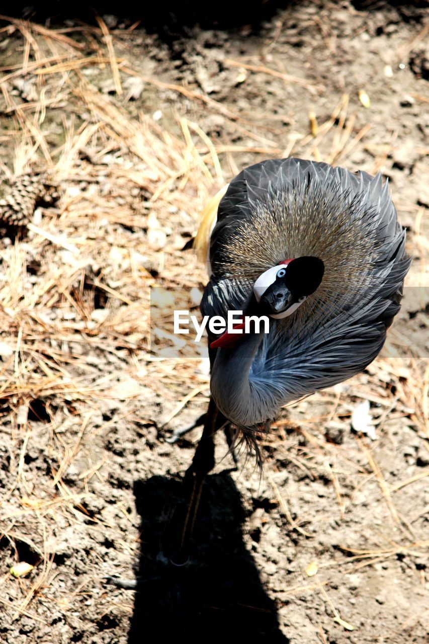 High angle view of grey crowned crane on field