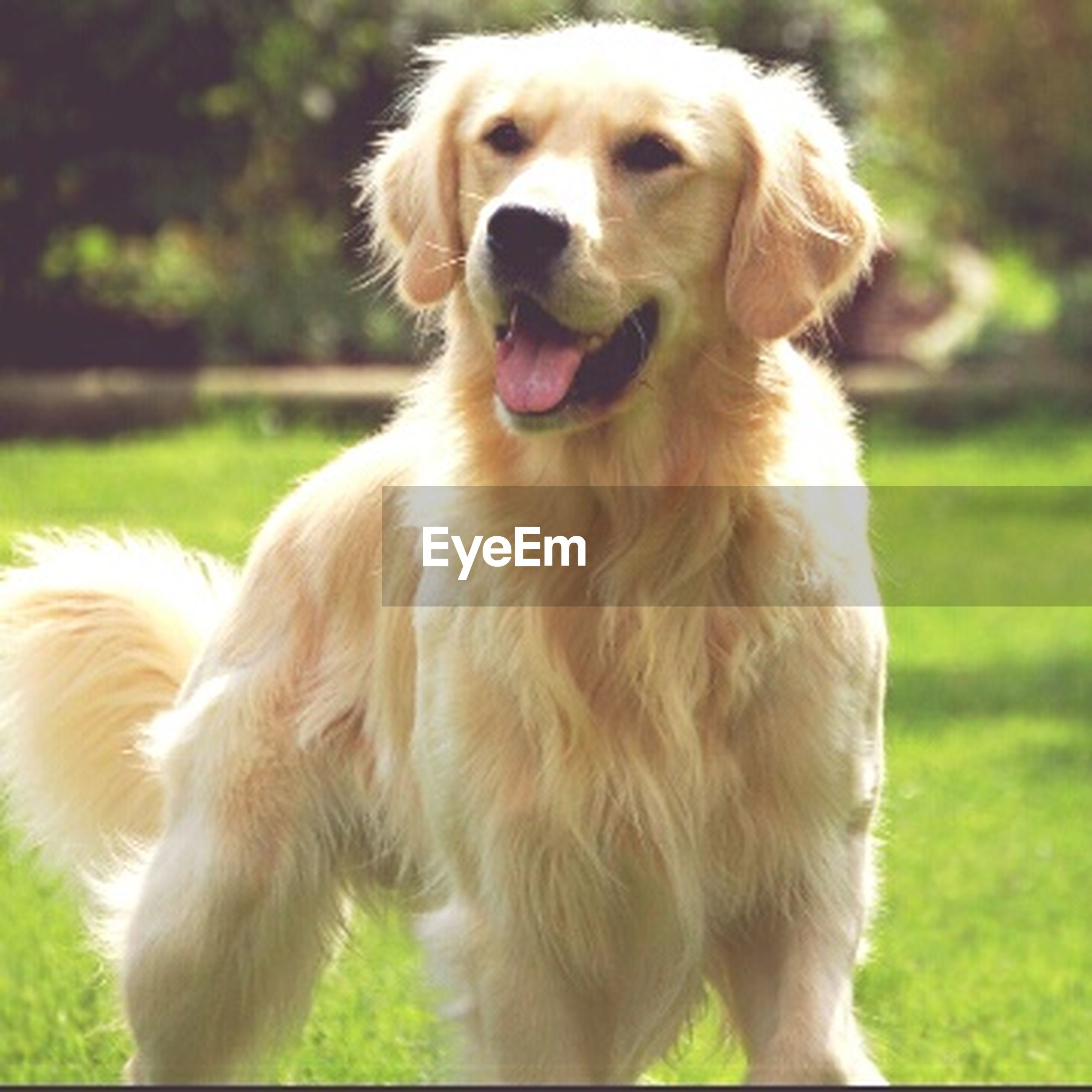 animal themes, domestic animals, dog, pets, mammal, one animal, grass, focus on foreground, field, close-up, sticking out tongue, animal hair, pet collar, grassy, looking away, animal head, outdoors, no people, mouth open, day
