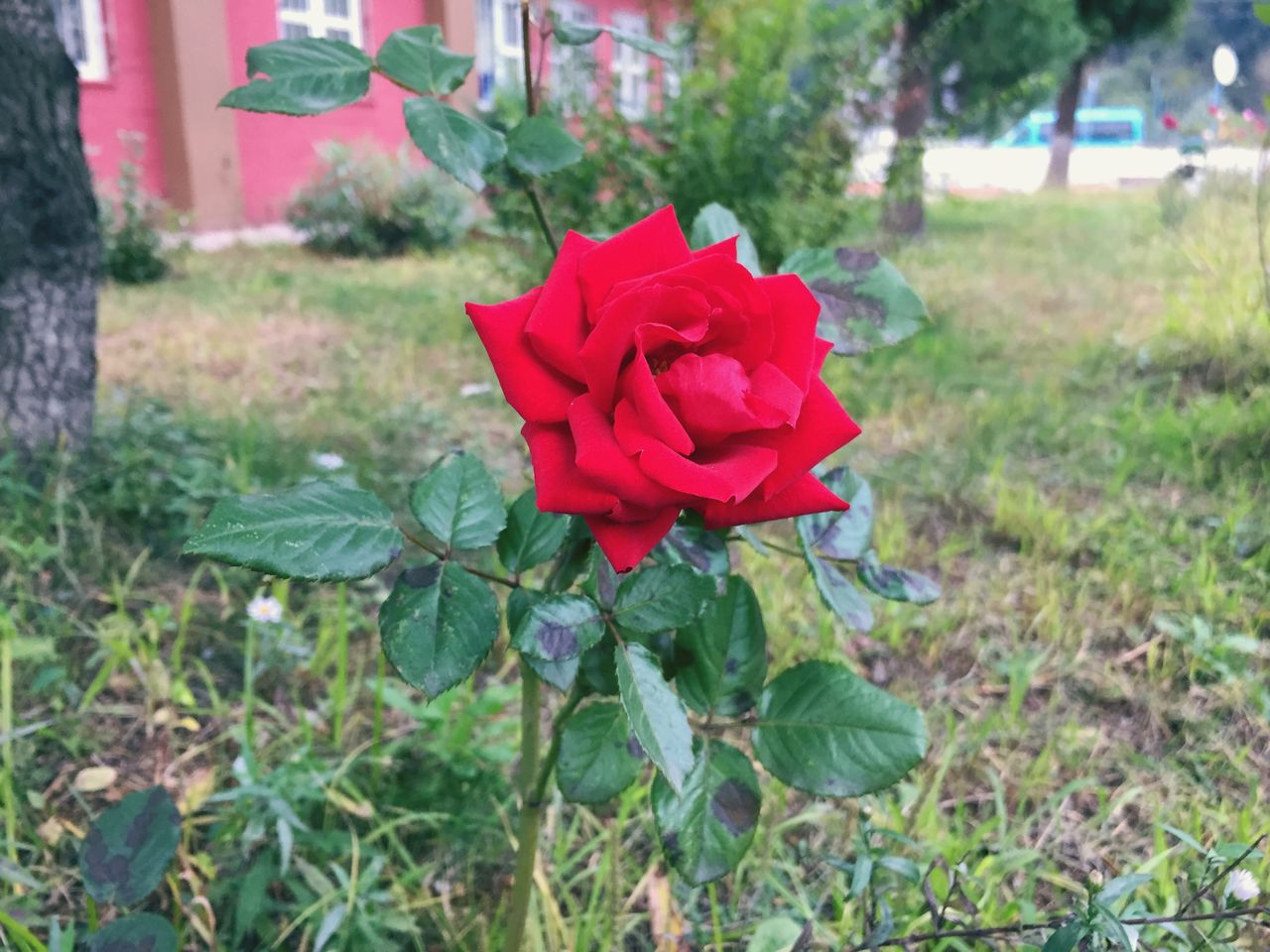 plant, flower, flowering plant, rose, beauty in nature, petal, rose - flower, fragility, vulnerability, red, freshness, inflorescence, flower head, plant part, nature, leaf, growth, close-up, focus on foreground, land, no people, outdoors