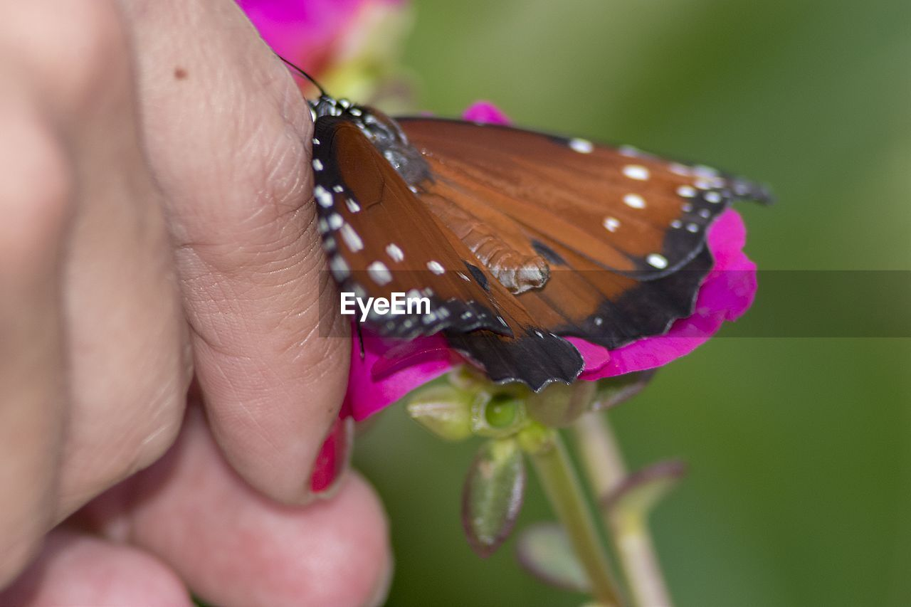 human hand, human body part, hand, close-up, insect, animal, flower, beauty in nature, animal themes, butterfly - insect, one animal, animal wildlife, invertebrate, animal wing, one person, pink color, flowering plant, body part, finger, plant, flower head, nail, butterfly