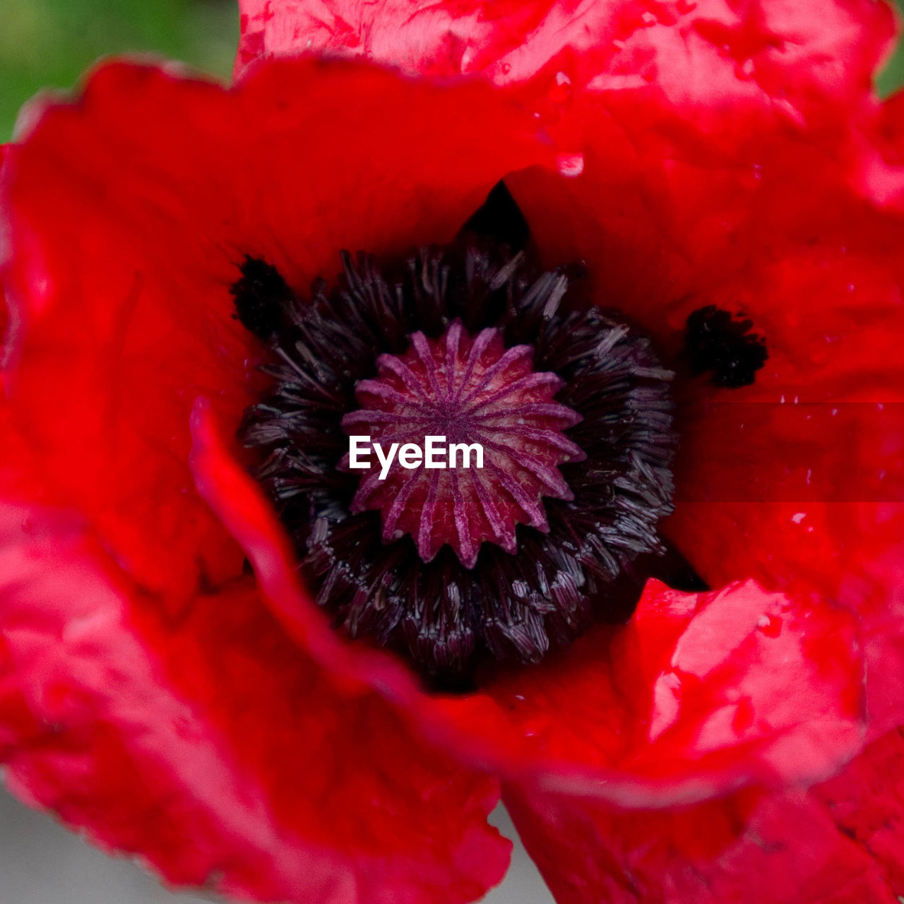 High Angle View Of Red Poppy Flower