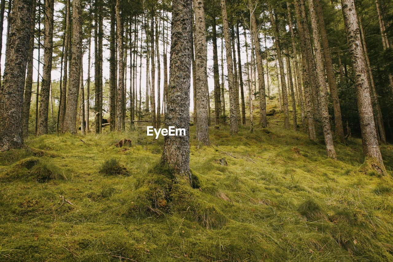 land, tree, plant, forest, woodland, tree trunk, trunk, tranquility, scenics - nature, no people, nature, beauty in nature, tranquil scene, non-urban scene, day, green color, grass, environment, landscape, growth, pine tree, pine woodland, coniferous tree