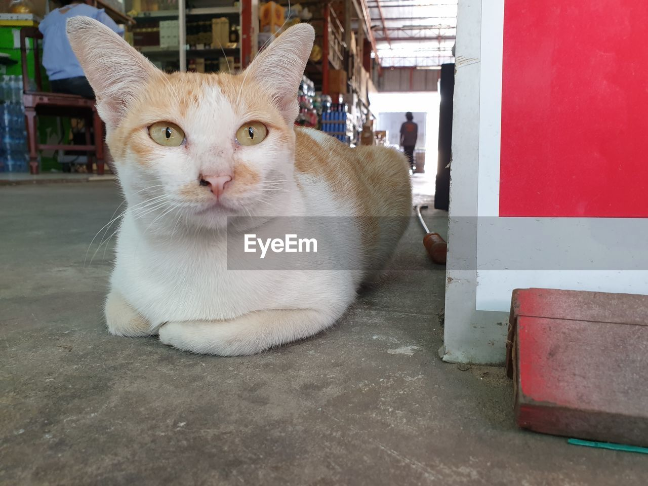 domestic animals, domestic, pets, cat, mammal, one animal, domestic cat, feline, vertebrate, portrait, looking at camera, people, whisker, day, sitting, relaxation, close-up