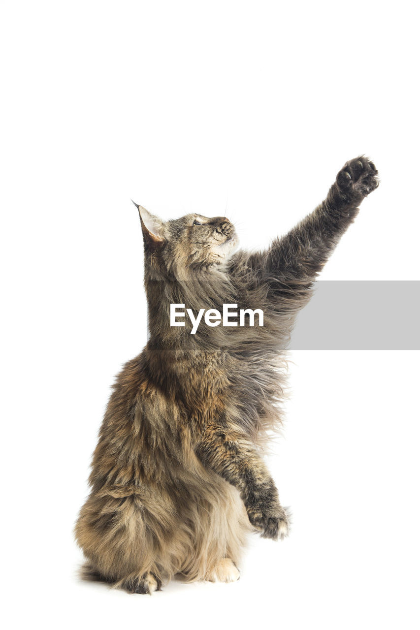 Maine coon cat looking away against white background