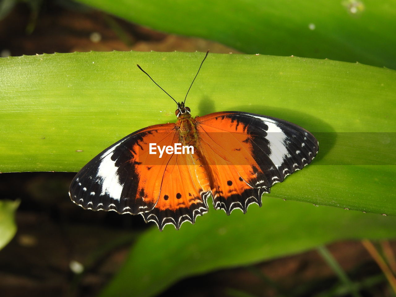 insect, invertebrate, animal wing, animal themes, butterfly - insect, one animal, animal wildlife, beauty in nature, animal, animals in the wild, close-up, plant part, leaf, plant, nature, focus on foreground, no people, day, green color, butterfly, outdoors
