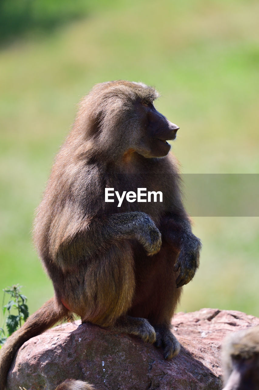 animal wildlife, animals in the wild, primate, mammal, sitting, vertebrate, one animal, focus on foreground, no people, looking, looking away, day, solid, nature, rock, outdoors, baboon, mouth open